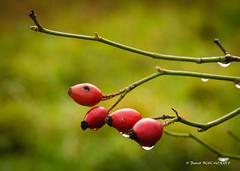 Gouttes de pluie (patoche21) Tags: bourgogne beirelefort europe france fleur flore gouttesdeau grosplan nature ctedor burgundy eau water flower waterdrop patrickbouchenard
