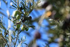 Spanish olives (RagbagPhotography) Tags: marmenor murcia fruit plant tree olivio olive challenge 366 365