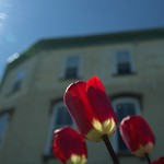 Stratford Ontario ~ Canada ~ Glowing Tulips with the Sun Ray thumbnail