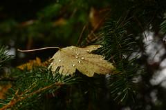 loved this (Wil James) Tags: sonya77mk2 sonyilca77m2 tamron1750 fall fallcolur leaf hemlock ontario trees rain raindrops rai