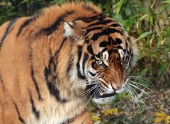sumatran tiger Emas  Blijdorp JN6A4053 (j.a.kok) Tags: tijger tiger sumatraansetijger sumatrantiger pantheratigrissumatrae cat kat predator asia azie sumatra blijdorp blijdorpzoo mammal zoogdier emas