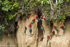 Red-and-green macaws at clay lick (tau247) Tags: amazonianrainforest arachloropterus manunationalpark peru redandgreenmacaw southamerica behavior behaviour bird bright claylick colorful colourful green minerals nature red wildlife