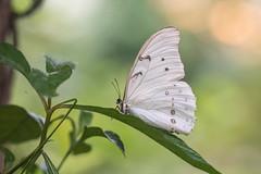 Morpho Polyphemus (fabriciodo) Tags: morphoblanc morphopolyphemus butterfly macro lepidoptera mexique blanc papillon mariposa nature insect sigma150 nikond750