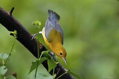 Prothonotary warbler (Protonotaria citrea) (Dax M. Roman E.) Tags: prothonotarywarbler protonotariacitrea daxromn republicadominicana