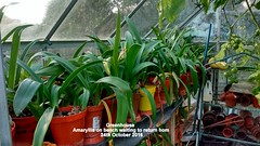 Greenhouse - Amaryllis on bench waiting to return home 24th October 2016 001 (D@viD_2.011) Tags: greenhouse amaryllis bench waiting return home 24th october 2016