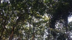 Rubber forest, lakkatura, Sylhet, Bangladesh. (Ahmed Afgani) Tags: lakkatura sylhet bangladesh tea estate rubber