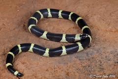 Mexican Short-tailed Snake (Sympholis lippiens) (David A Jahn) Tags: mexican shorttailed snake sympholis lippiens mexico endemic monotypic genus culebra cola corta mexicana