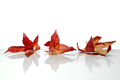 flames (brescia, italy) (bloodybee) Tags: 365project leaves fall autumn season stilllife white red reflection mirror