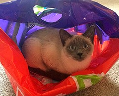 Cat In The Bag (carolynthepilot) Tags: carolynbistline carolynthepilot carolynsuebistline silkstockings interesting image nature nationalgeographic nationalgeo nationalgeographicexplorer bistline bbc bbcsponsored carolyn postcard published photoshoot paradise flickrmindset florida flickmindset beautiful beach goldenwings getaway travel tropical trip tranquil trekker concordian photographer photograph passport ironbutterfly michael mike amazing familyvacation suncoast goldcoast goldencoast eastcoast coastal gulfcoast carolynsworld animal kitten cat hiding platime pet lulu gracie fun