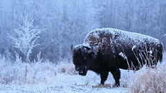 A frosty bison. (fred.colbourne) Tags: bison snow grass trees elkislandnationalpark alberta