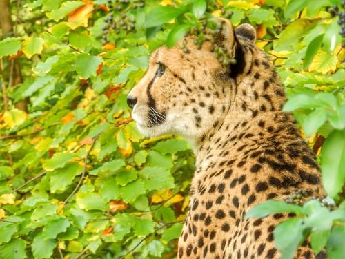 Cheetah - Jachtluipaard GaiaZoo