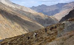 There once was a Silk Road, India 2016 (reurinkjan) Tags: india 2016 janreurink himachalpradesh spiti kinaur ladakh kargil jammuandkashmir silkroad horseman horses himalayamountains himalayamtrange himalayas landscapepicture landscape landscapescenery mountainlandscape