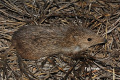 Golden Bandicoot (Isoodon auratus) (talimoyle) Tags: golden bandicoot goldenbandicoot threatenedspecies montebello mammal