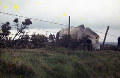 img071 (foundin_a_attic) Tags: 1964 cornwall horse pony green grass mores fence barbed wire
