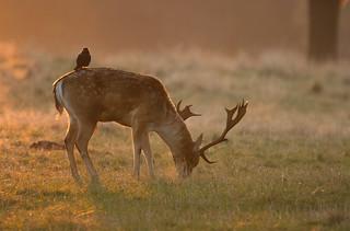Fallow-Deer-8857