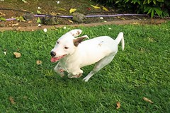 happy run (BarryFackler) Tags: dog arthur running canine animal creature rescuedog companion pet run mixedbreed life playing play outdoor captaincook yard grass southkona frolic captaincookhawaii tropical frontyard captaincookhi cookslanding barryfackler kona hawaiiisland bigisland sandwichislands polynesia barronfackler 2016 hawaii hawaiicounty hawaiianislands westhawaii leaves paws