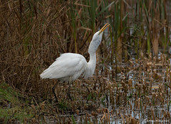 Great White Egret had breakfast. (Crazybittern1) Tags: greatwhiteegret rspb leightonmoss nikond7100 nikon200500