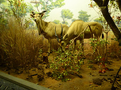 American Museum of Natural History New York November 2016 (21) (Richie Wisbey) Tags: american museum natural history upper west side new york city usa central park night exhibits dumdum dum monkey dinosaur bones fossils explore vast building easter island head theodore teddy roosevelt animals richard wisbey richie flickr