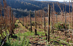 Post-Harvest Vineyard (gps1941) Tags: november fall autumn weinberg