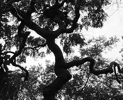 Daddy long legs (isabelle bugeaud) Tags: noiretblanc arbre branche feuille plante extrieur silhouette jambe tordu