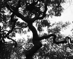 Daddy long legs (isabeau bugelle) Tags: noiretblanc arbre branche feuille plante extérieur silhouette jambe tordu