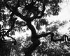 Daddy long legs (isabelle bugeaud) Tags: noiretblanc arbre branche feuille plante extérieur silhouette jambe tordu