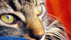 IMG_2897 (vaniaherrerav) Tags: blur cat quilpue chile gato canonpowershot powershotsx50hs eyes