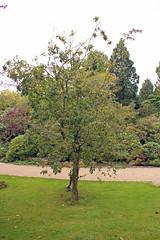 +Crataegomespilus 'Dardari' (Graft-chimera Crataegusx Mespilus) - BG Kopenhagen-000 (Ruud de Block) Tags: botanicalgardenoftheuniversityofcopenhagen crataegomespilusdardari graftchimeracrataegusxmespilus rosaceae ruuddeblock