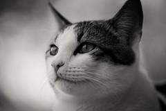 Mango (aej) Tags: bw cat animal kitten black white noir blanc nb bokeh silky smooth fur monochrome sony a77 alpha pet apsc telephoto telelens tele apo70200mmf28iiexdgmacrohsm sonya77 sonyalpha77 sigmalens aperture f28 sigma