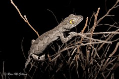 Soft spiny-tailed gecko (Strophurus s. spinigerus) Perth WA (ross.mcgibbon) Tags: reptile geckoes gecko lizard herpetology herpphotography australia wildlife scales gekkonidae canon700d tails strophurus reptiles species amazingeyes coolpatterns claws claw tail terrestrial arboreal prehensile herping nature conservation fauna flora animals animal habitat deserts sand sun sunset sky rainforest storm clouds northern southern eastern western red green blue yellow travel outback photography canon macro slr lens camera photo image shot