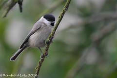 Poecile montanus (Reinhold.Lotz) Tags: natur weidenmeisepoecilemontanus meisen vögel kirtorf hessen deutschland de coth5