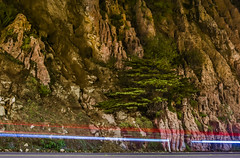 tree on a cliff (pbo31) Tags: california bayarea nikon d810 color november 2016 fall boury pbo31 lightstream traffic roadway motion night lowlight sanfrancisco cliff oceanbeach sutroheights nature earth brown tree