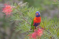 Rainbow Lolikeet (SC) Tags: rainbowlorikeet parrot australian flower grevillea native