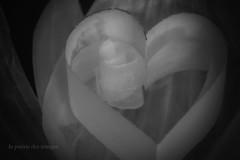 """""""I don't know why.... (la poésie des images) Tags: macromondays beatles georgeharrison georgewasmyfavoritebeatle heart cœur lapoésiedesimages conceptual unfolding delicate onionskin paper"""