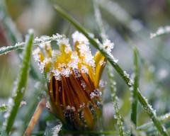 Frozen dandelion (serge.vermeersch) Tags: sony minolta 50 50mm macro a77ii cold ice frost ijs kou winter dandelion paardenbloem