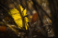 Translucent (please see the details :-) (Stefan Zwi.) Tags: leaf maple autumn yellow gelb herbst blatt wald forest light ahorn bokeh dof darkness dunkelheit sonya7 ilce7 sigma 105mm macro makro