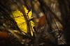Translucent (please see the details :-) (Stefan Zwi.) Tags: leaf maple autumn yellow gelb herbst blatt wald forest light ahorn bokeh dof darkness dunkelheit sonya7 ilce7 sigma 105mm macro makro