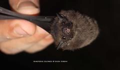 Murciélago insectivoro - Emballlonuridae