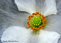 BE3AGC_LANDSCAPES_2 (vamsizzz) Tags: white flower macro wings natureplus