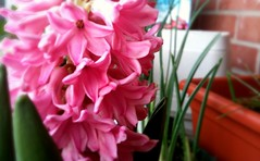 pink hyacinth (jeannie*) Tags: camera flowers floral garden flora urbangarden hyacinth containergarden perennials balconygarden containergardening pinkhyacinth balconygardening iphoneography