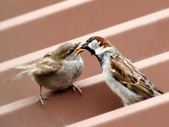 Fatherthood ( Love & Care ) (Al Abbasi) Tags: love parent sparrow tc care teleconverterstacking sigma15028macroos tcstacking soligor14xdgpro soligor2xdg