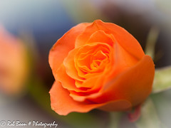 20130518_1044_Roos (Rob_Boon) Tags: plant flower macro rose roos wijlre