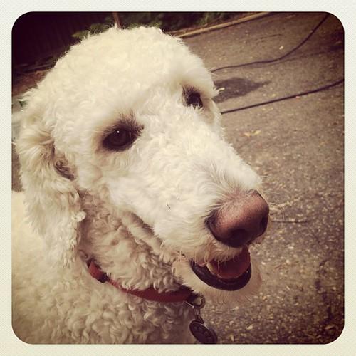 Barclay the dog
