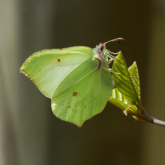 Brimstone (markwright12002) Tags: butterfly may dorset brimstone wareham 2013 mordenbog
