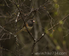 """Dark-eyed Junco • <a style=""""font-size:0.8em;"""" href=""""http://www.flickr.com/photos/63501323@N07/8758253830/"""" target=""""_blank"""">View on Flickr</a>"""