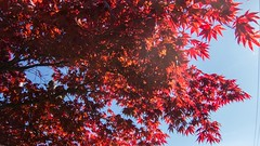 Japanese maple leaves (Iain Macflash) Tags: blue sky leaves japanese maple