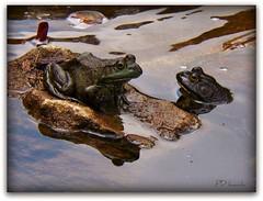 Hello, you ribbeting Beauty! (MissyPenny) Tags: green nature water pond pennsylvania wildlife frog newhope buckscounty greenfrog lahaska southeasternpa kodakz990 pdlaich missypenny