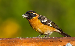 Black-headed Grosbeak (Peter Bangayan) Tags: nature birds 1dmk2 backyardbirds wilidlife ef300mmf4lisusm