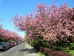 Berlin Britzer Baumblüte japanische Zierkirschbäume 27-04-2012 (Detlef Wieczorek) Tags: city berlin strasse britz baumblüte japanische britzer zierkirschen