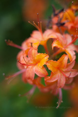 IMG_1577 (mikereidphotography) Tags: flowers abstract flower floral dof bokeh rhododendrons canonphotography zeiss50mmze